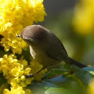 bushtit on yellow flowers