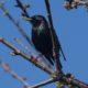 Shiny starling
