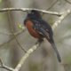 Towhee belting out the tunes