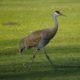 Sandhill crane, striding