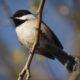 Chickadee perching