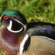 Beautiful wood duck