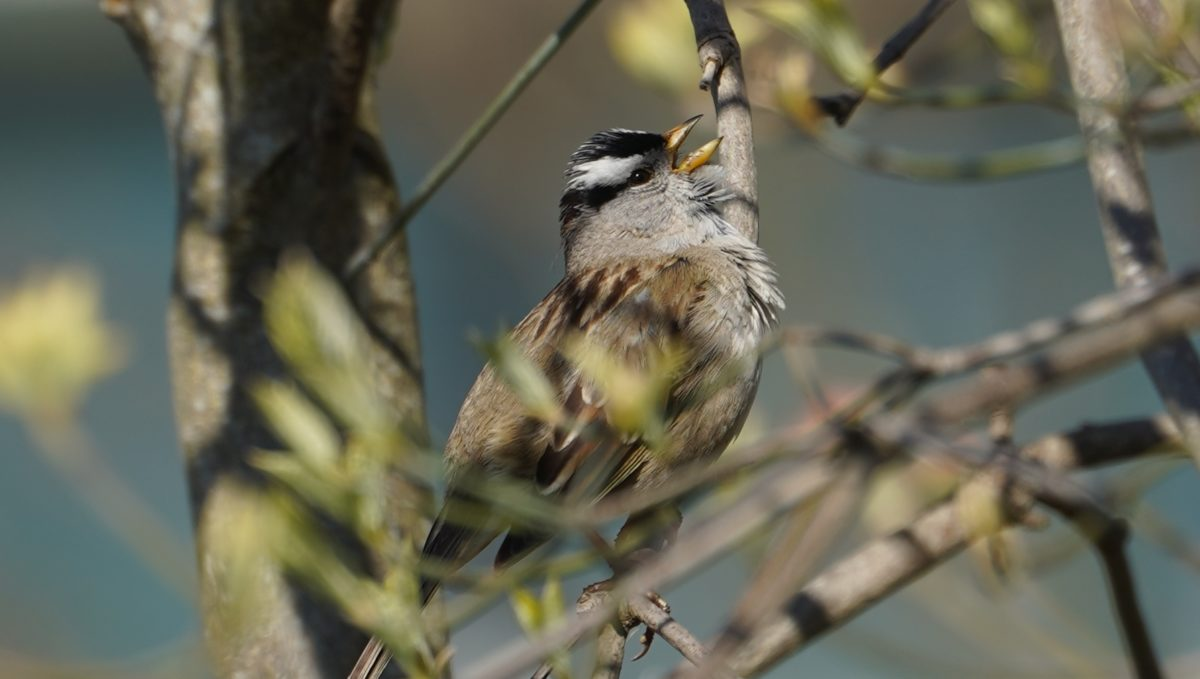 singing white-crowned sparrow