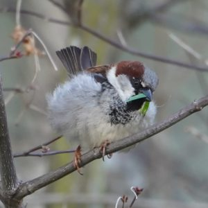 house sparrow with grass