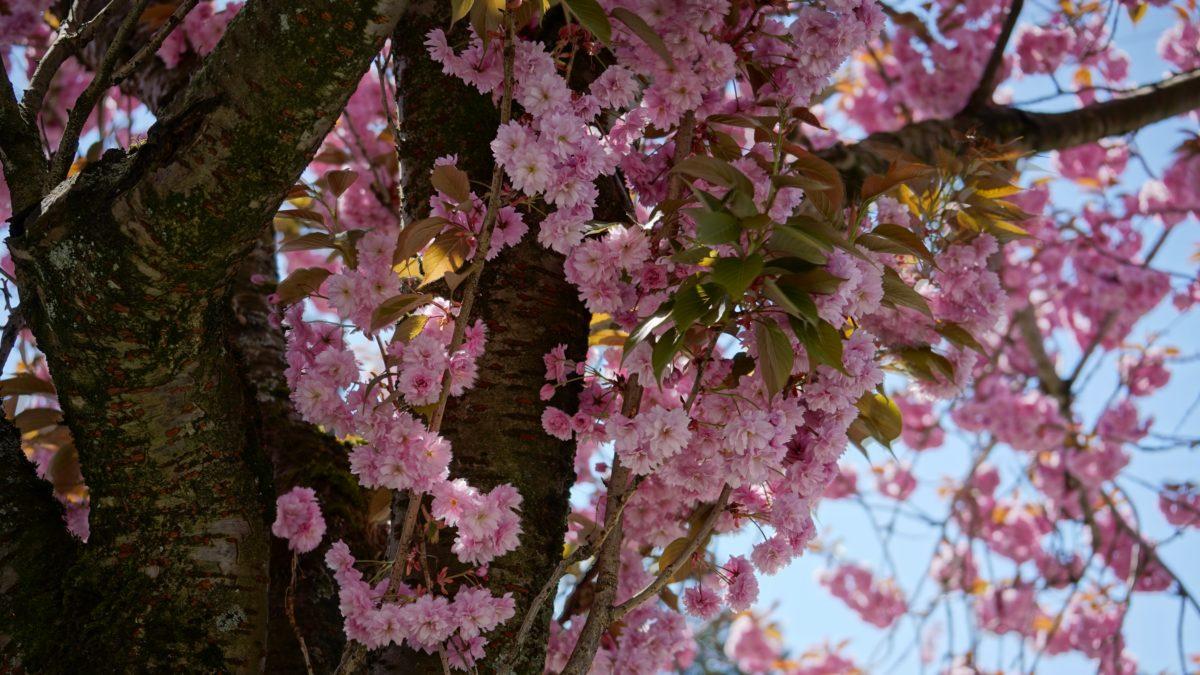 Pink floweres