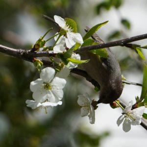 Bushtit nibbling on flowers