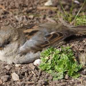 House sparrow in the dust