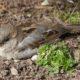 House sparrows love their dust baths