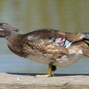 Iridescent wood duck