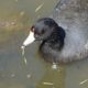 Red eyes of the coot