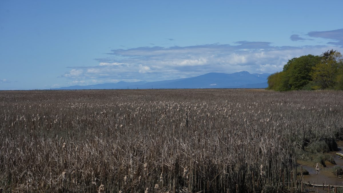 Reeds and open marsh