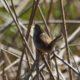 Marsh wren being loud