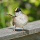 Twisty golden-crowned sparrow