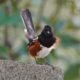 Spotted towhee posing