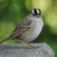 White-crowned sparrow, facing me