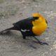Yellow-headed blackbird, foraging