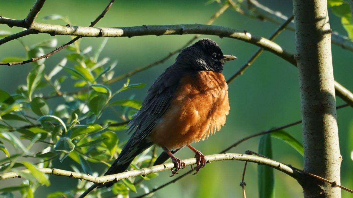 Robin in golden hour
