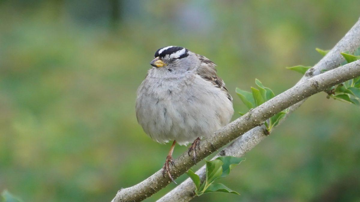 Sleepy white-crowned sparrow