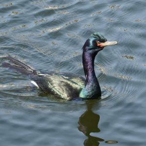 iridescent cormorant