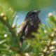 Song sparrow in the shade