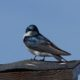 Tree swallow giving me the eye