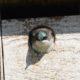 Tree swallow peeking out