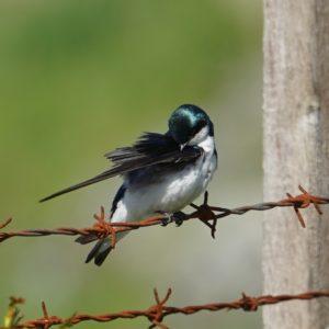 Preening tree swallow