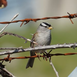 White-crowned sparrow on barbed wire