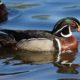 Shiny wood duck