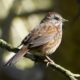 Song sparrow with dark eyes
