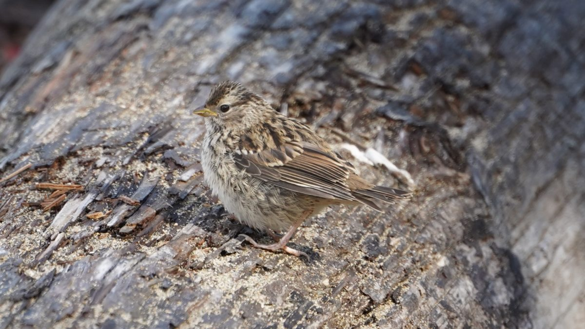 White-crown sparrow fledgling