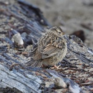white-crowned sparrow fledgling