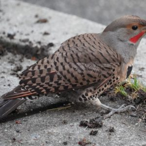 Northern flicker with muddy beak