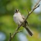 Staring white-crowned sparrow