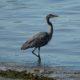 Strutting Heron on Second Beach