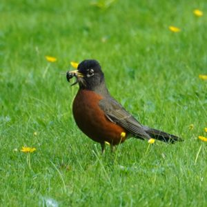 Robin with worms